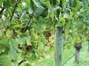 The vineyard at Villa Maria Auckland